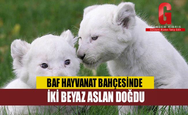 Baf Hayvanat Bahçesinde İki Beyaz Aslan Doğdu