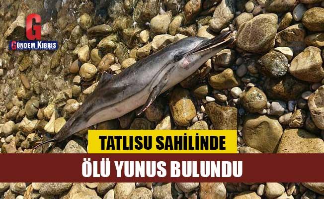 Tatlısu'da Ölü Yunus Kıyıya Vurdu!
