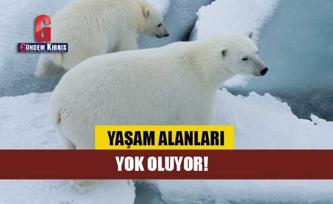 Kutup ayılarının yaşam alanları yok oluyor!